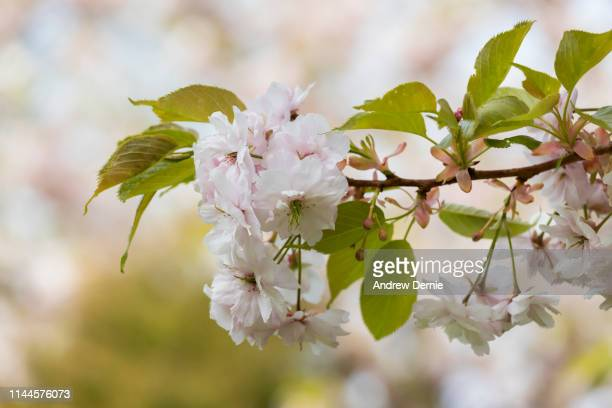 blossom - andrew dernie stock pictures, royalty-free photos & images