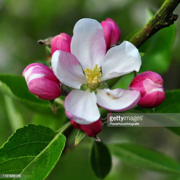 blossom - apple blossom stock pictures, royalty-free photos & images
