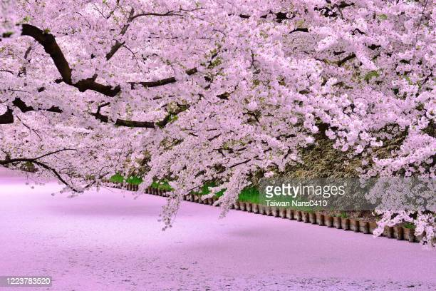blossom - chiba prefecture stock pictures, royalty-free photos & images
