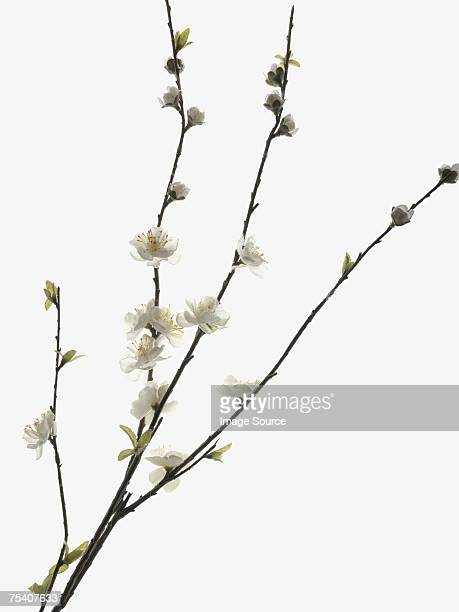 blossom - peach blossom stock pictures, royalty-free photos & images
