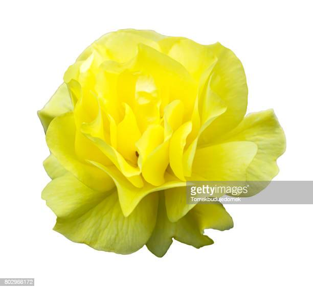 blossom - yellow roses stock photos and pictures