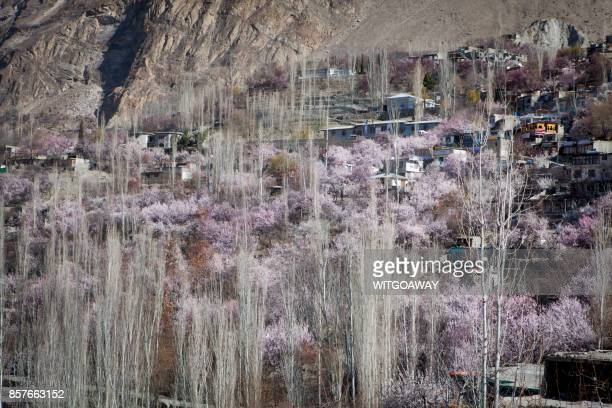 blossom season in pakistan - hunza valley stock pictures, royalty-free photos & images