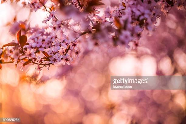 Blossom tree and nature background, sunset colors