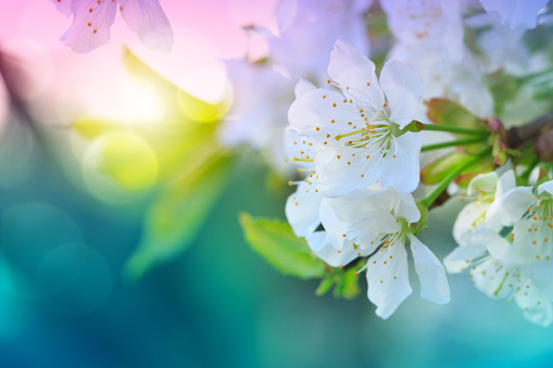 Blossom tree over green nature background. Spring background. 1097803956