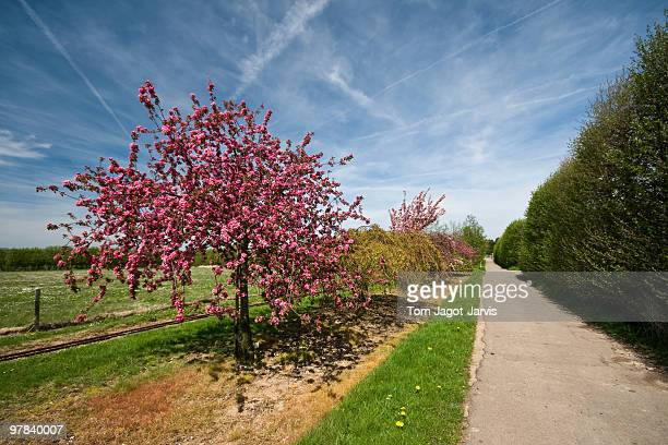 Blossom Tree with path