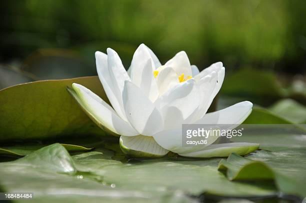 Blossom white waterlily
