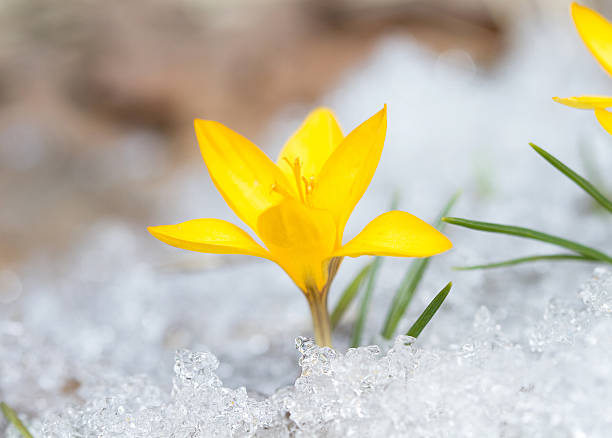 Free flowers snow yellow images pictures and royalty free stock blossom yellow crocus alpine meadows filled with wild flowers and snowcapped mightylinksfo