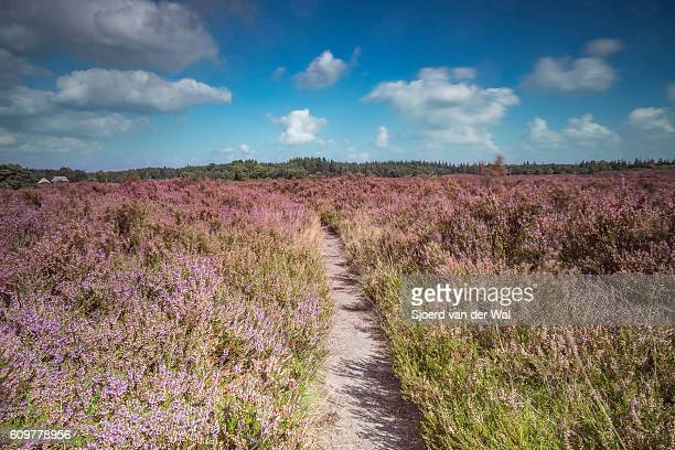 Blossomig Heather plants along a path in nature during summer