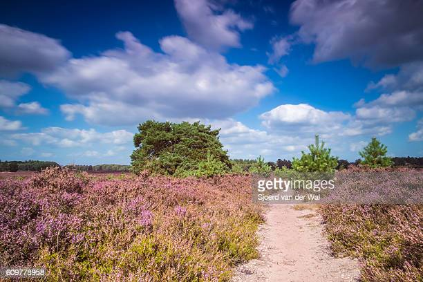 """blossomig heather plants along a path in nature during summer - """"sjoerd van der wal"""" stock pictures, royalty-free photos & images"""