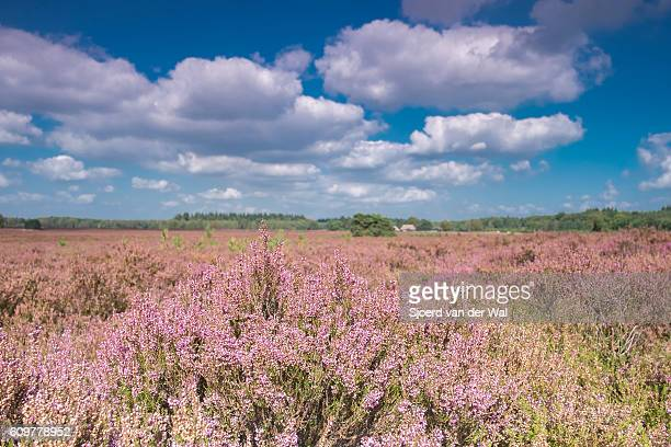 Blossomig Heather plants in a nature reserve in summer
