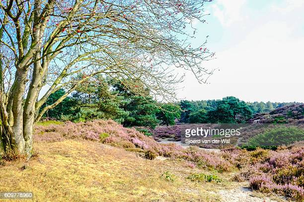 """blossomig heather plants in a nature reserve in summer - """"sjoerd van der wal"""" stock pictures, royalty-free photos & images"""