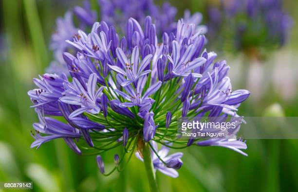 Blossoming African Lily