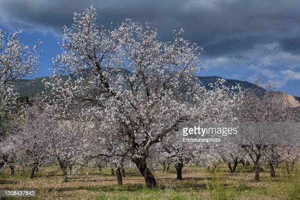 blossoming almond trees on a cloudy day in datca peninsula. - emreturanphoto stock pictures, royalty-free photos & images