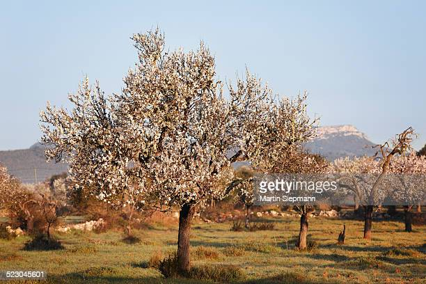 Blossoming almond trees -Prunus dulcis-, Campos, Majorca, Balearic Islands, Spain, Europe