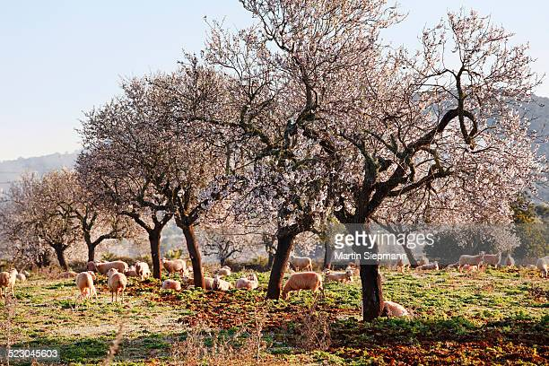 Blossoming almond trees -Prunus dulcis-, Campos, Majorca, Balearic Islands, Spain, Europe