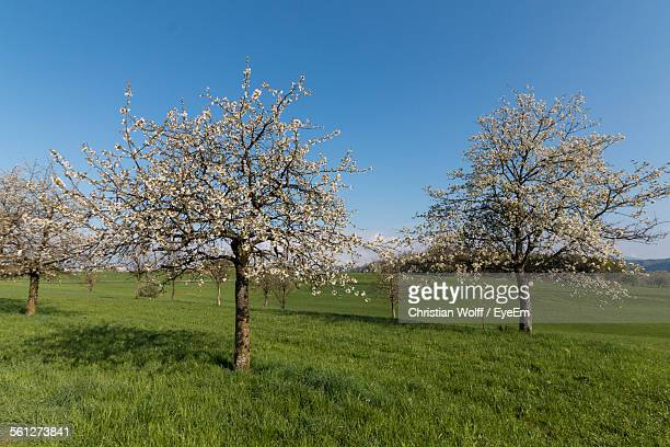 Blossoming Apple Trees In Orchard