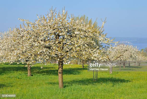 Blossoming apple trees on Lake Constance, Baden-Wuerttemberg, Germany, Europe