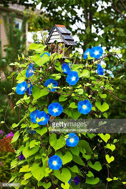 Blossoming blue flowers on a plant in a residential backyard