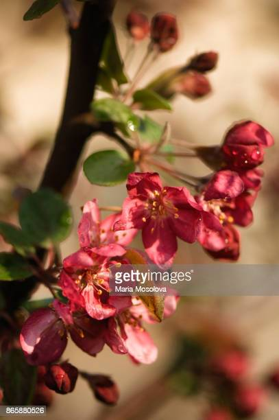 blossoming branch of red crabapple tree - crab apple tree stock pictures, royalty-free photos & images