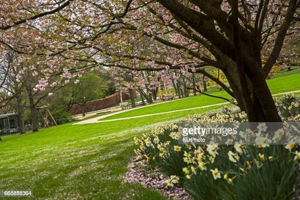 A blossoming cherry tree is pictured during a press preview of the IGA 2017 in Berlin Germany on April 7 2017 Last arrangements are being done for...
