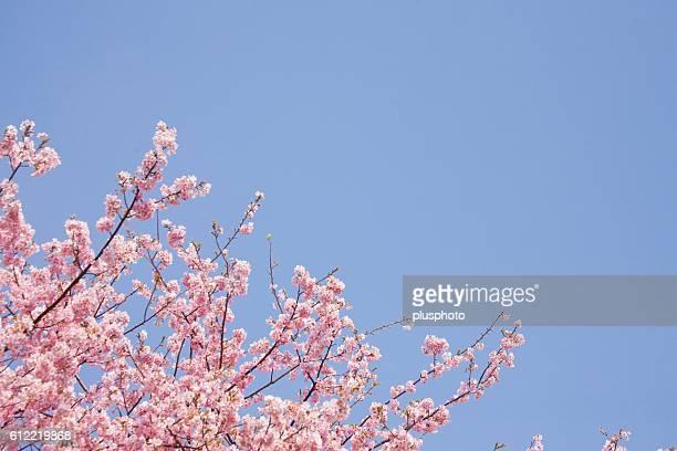 Blossoming Cherry Tree, Kawazu, Shizuoka Prefecture, Japan