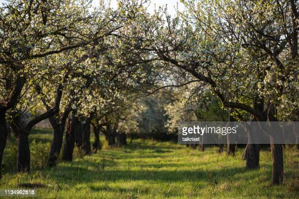 blossoming cherry trees, germany - fruit tree stock pictures, royalty-free photos & images