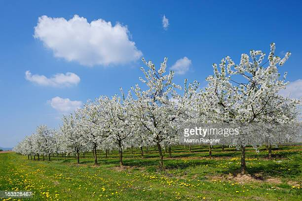 Blossoming Cherry Trees (Prunus sp.) in orchard.