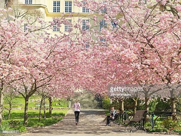 Blossoming cherry trees in park