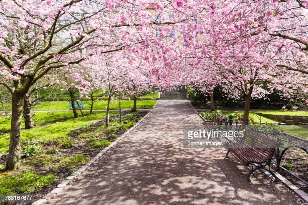 blossoming cherry trees in park - ヨーテボリ ストックフォトと画像