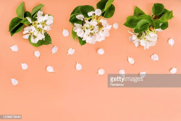 blossoming clusters of apple branches - 花びら ストックフォトと画像