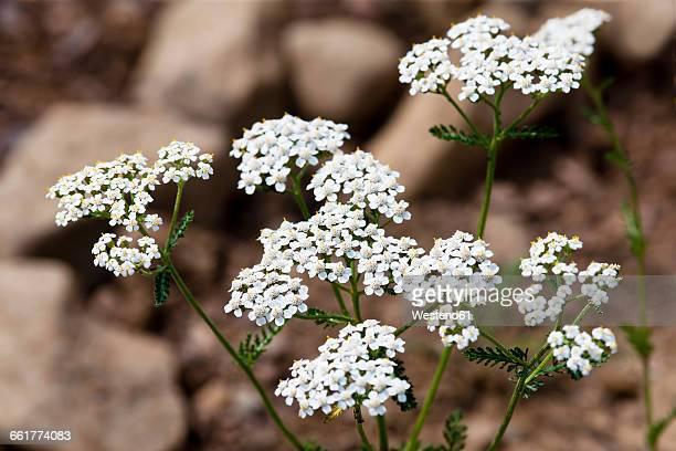 Blossoming Common Yarrow