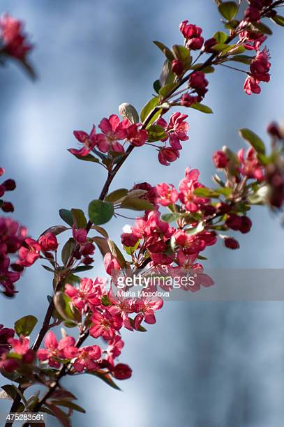 blossoming crabapple tree - crab apple tree stock pictures, royalty-free photos & images