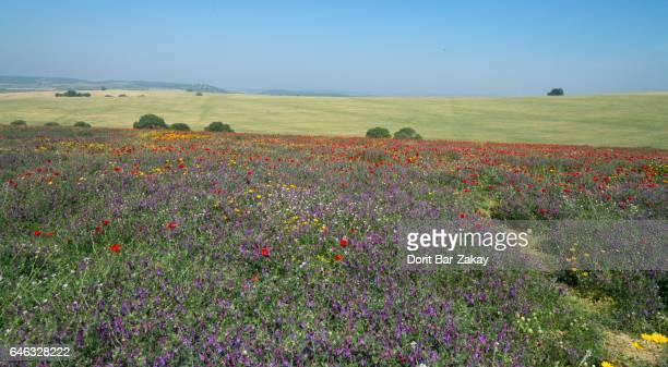 Blossoming Fields at Ramat Menasheh