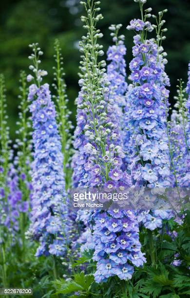 blossoming flowers - delphinium stock pictures, royalty-free photos & images