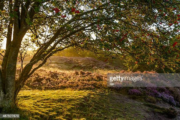 """blossoming heather plants behind a tree in a nature reserve - """"sjoerd van der wal"""" or """"sjo"""" stock pictures, royalty-free photos & images"""