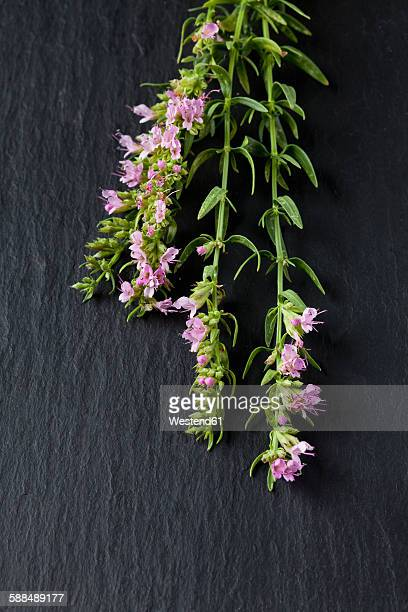 Blossoming hyssop on slate