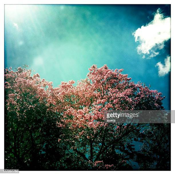 blossoming jacaranda in buenos aires - jacaranda tree stock pictures, royalty-free photos & images
