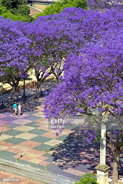 Blossoming Jacaranda trees, Alameda Vieja, Jerez de la Frontera, Cadiz Province, Andalucia, Spain, Europe