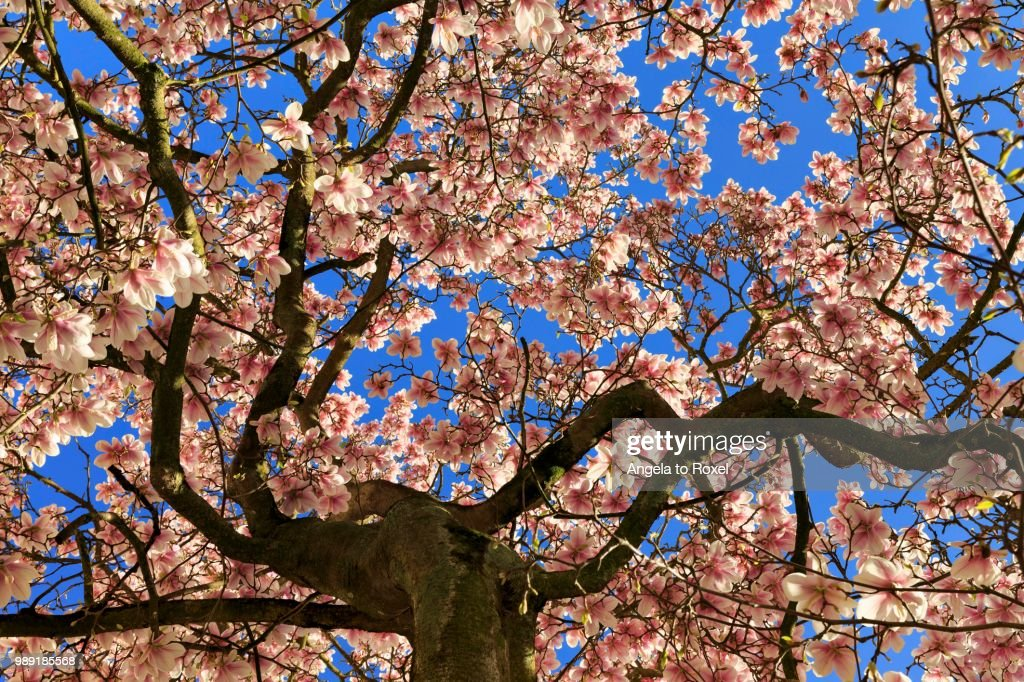 Blossoming Magnolia Tree Saucer Magnolia Magnolia Flowers Against Blue Sky Germany Foto De Stock Getty Images