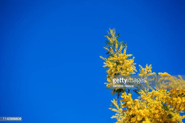blossoming mimosa on a blue sky in winter time - mimosa fiore foto e immagini stock
