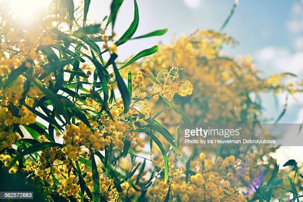 blossoming mimosa tree - mimosa stock pictures, royalty-free photos & images