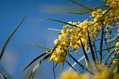 blossoming mimosa tree acacia pycnantha golden