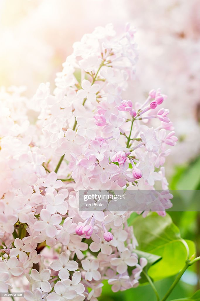 Blossoming of pink lilac flowers in spring time : Stock Photo