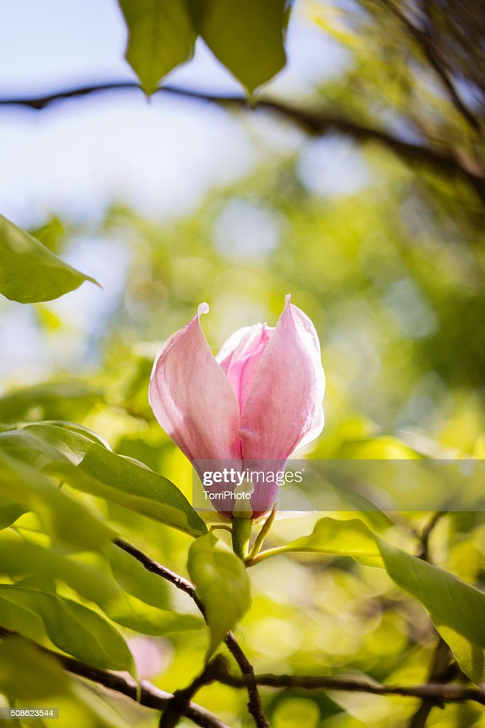 Blossoming of pink magnolia flowers in spring time : Stock Photo