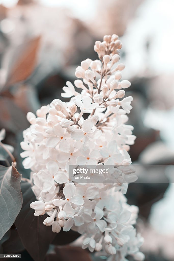 Blossoming of white lilac flowers outdoors : Stock Photo