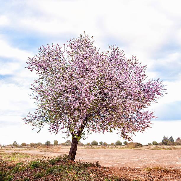 Blossoming Pink Almond Tree (Prunus Dulcis), Castellón, Spain, Europe. Wall Art