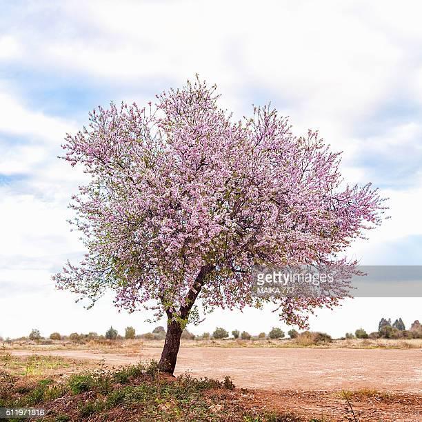 Blossoming pink almond tree (Prunus Dulcis), Castellón, Spain, Europe.