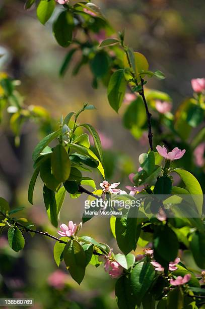 Blossoming Pink Crabapple Tree. Sunlit Flowers
