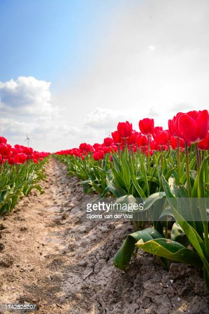 blossoming red and pink tulips in a field  during a beautiful spring day - sjoerd van der wal stock pictures, royalty-free photos & images