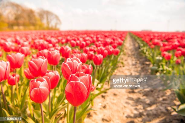 "blossoming red and pink tulips in a field during a beautiful spring day - ""sjoerd van der wal"" stock-fotos und bilder"
